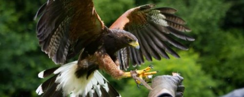 West of England Falconry at Newton St Loe