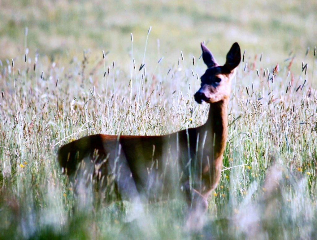 Deer in the meadows at Tucking Mill Self Catering Bath